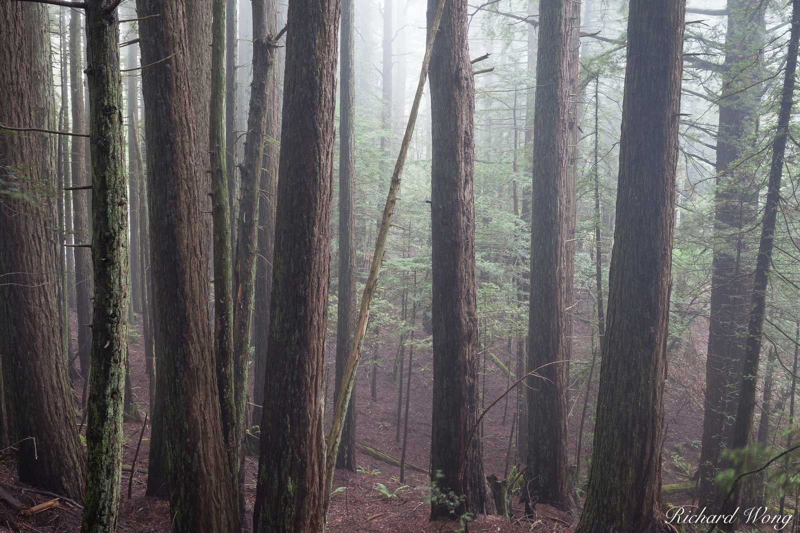 Redwood Forest in Fog, Mount Tamalpais State Park, California, photo, photo