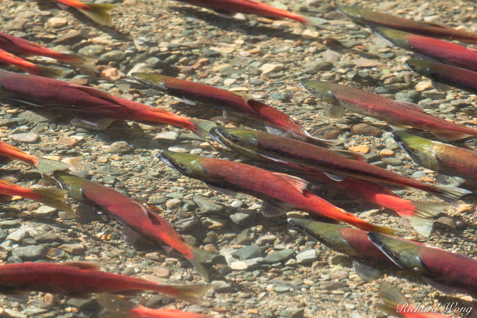 Kokanee Salmon Spawn at Taylor Creek, South Lake Tahoe, California, photo, photo