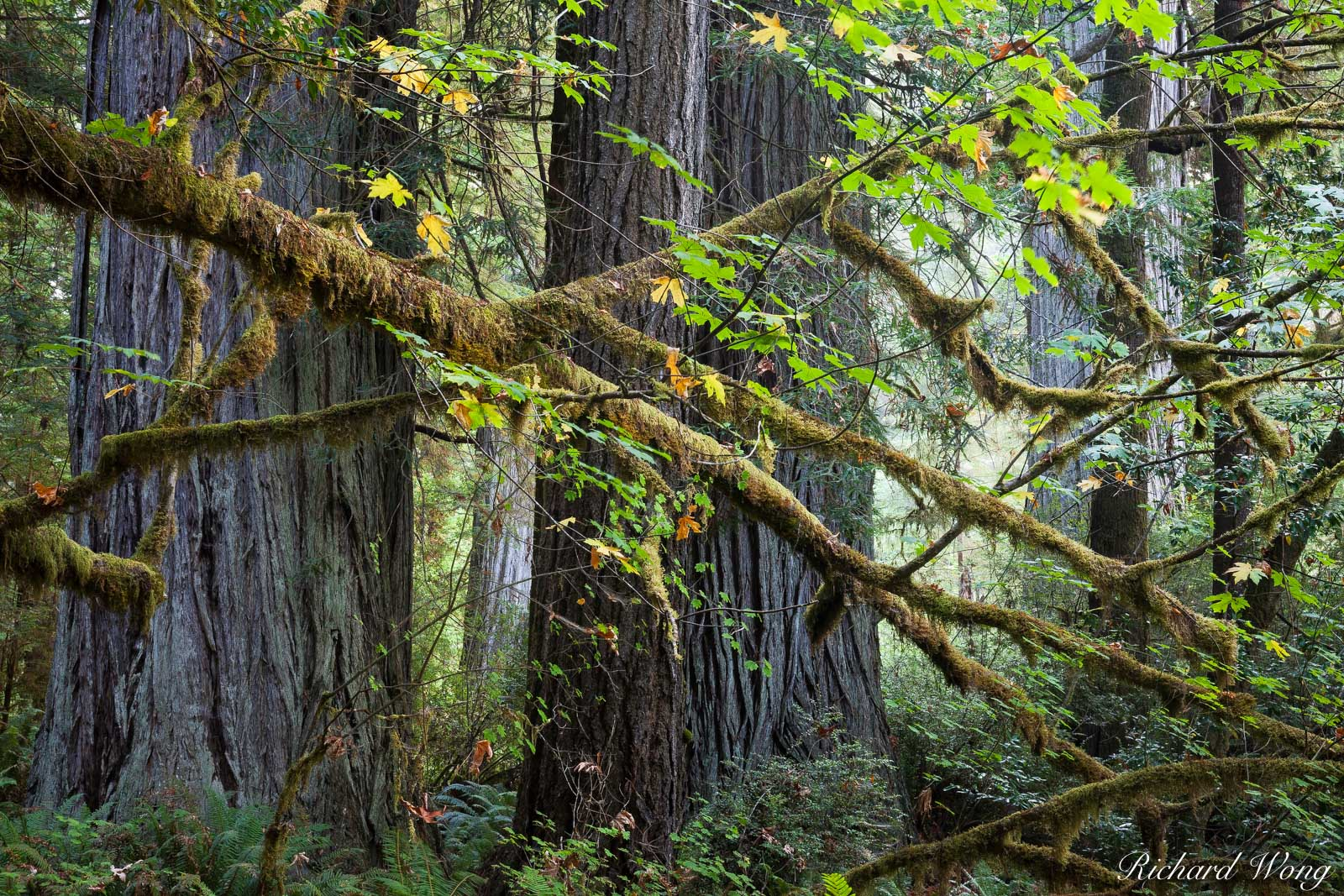Humboldt County, autumn leaves, fall colors, landscape, lichen, moss, nature, northern california, old-growth redwood forest, outdoors, outside, prairie creek redwoods state park, scenic, seasons, tre, photo