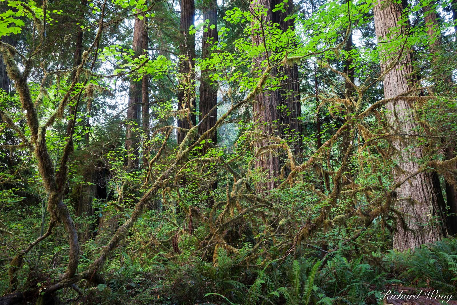 Dense Temperate Rainforest, Prairie Creek Redwoods State Park, California, photo, photo