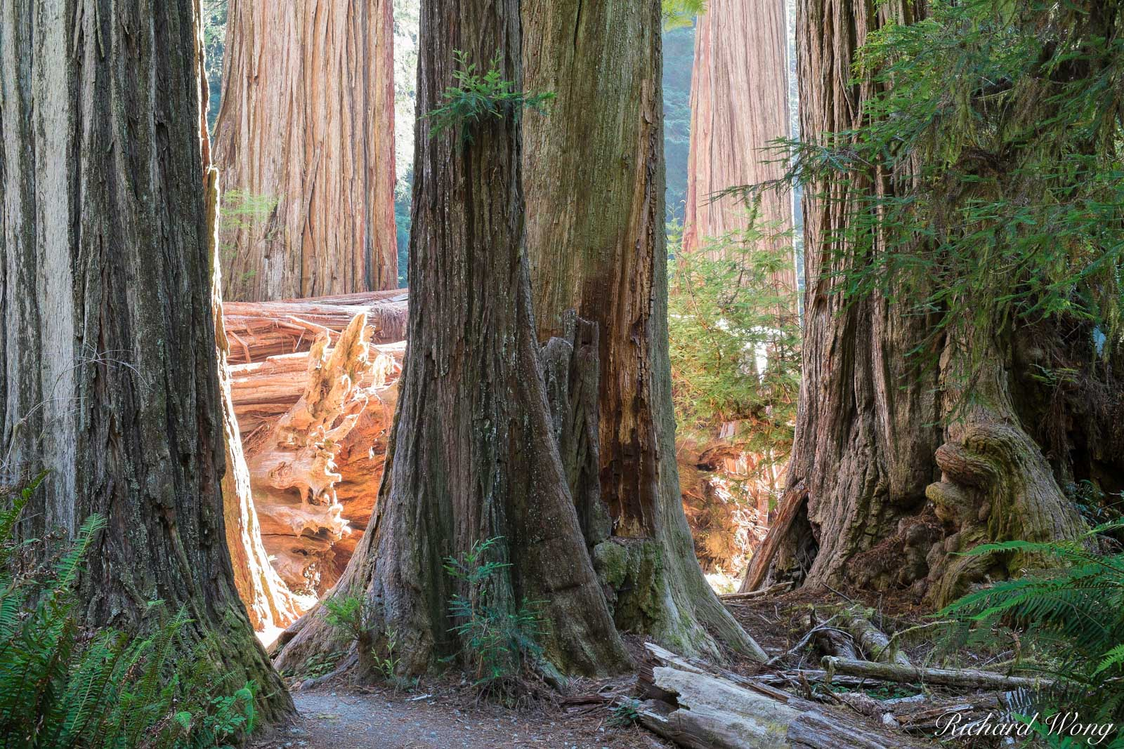 Old-Growth Redwoods, Simpson-Reed Trail, Jedediah Smith Redwoods State Park, California, photo