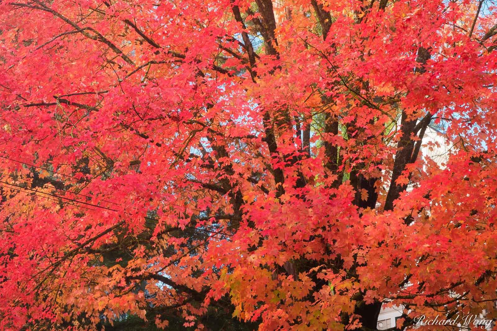 Red Fall Foliage, Nevada City, California, photo, photo