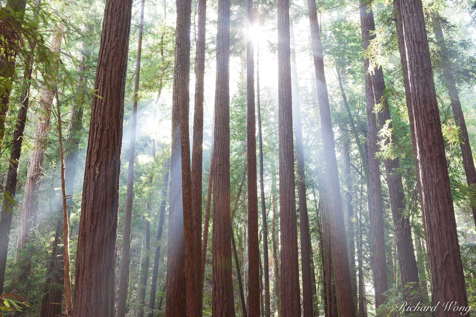 Crepuscular Rays, Armstrong Redwoods SNR, Guerneville, California, photo, photo