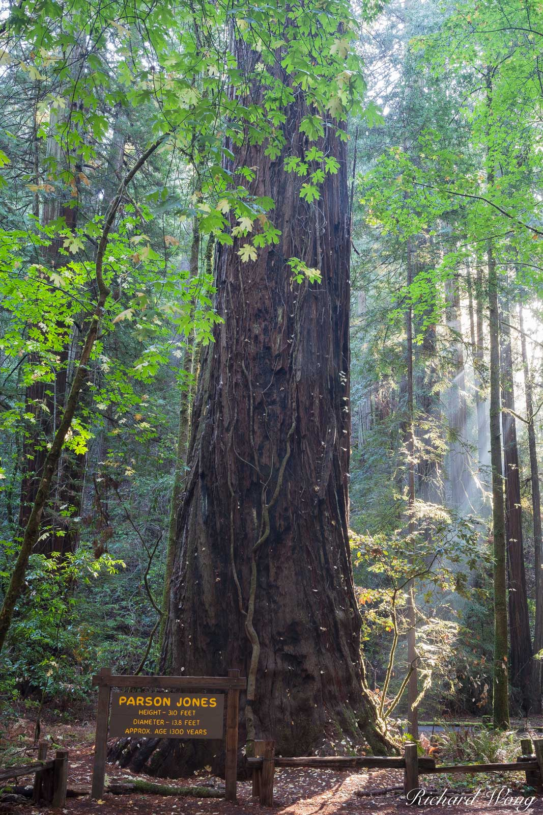 Parson Jones Tree, Coast Redwood, Armstrong Redwoods State Natural Reserve, California, Sonoma County, Guerneville, photo, photo