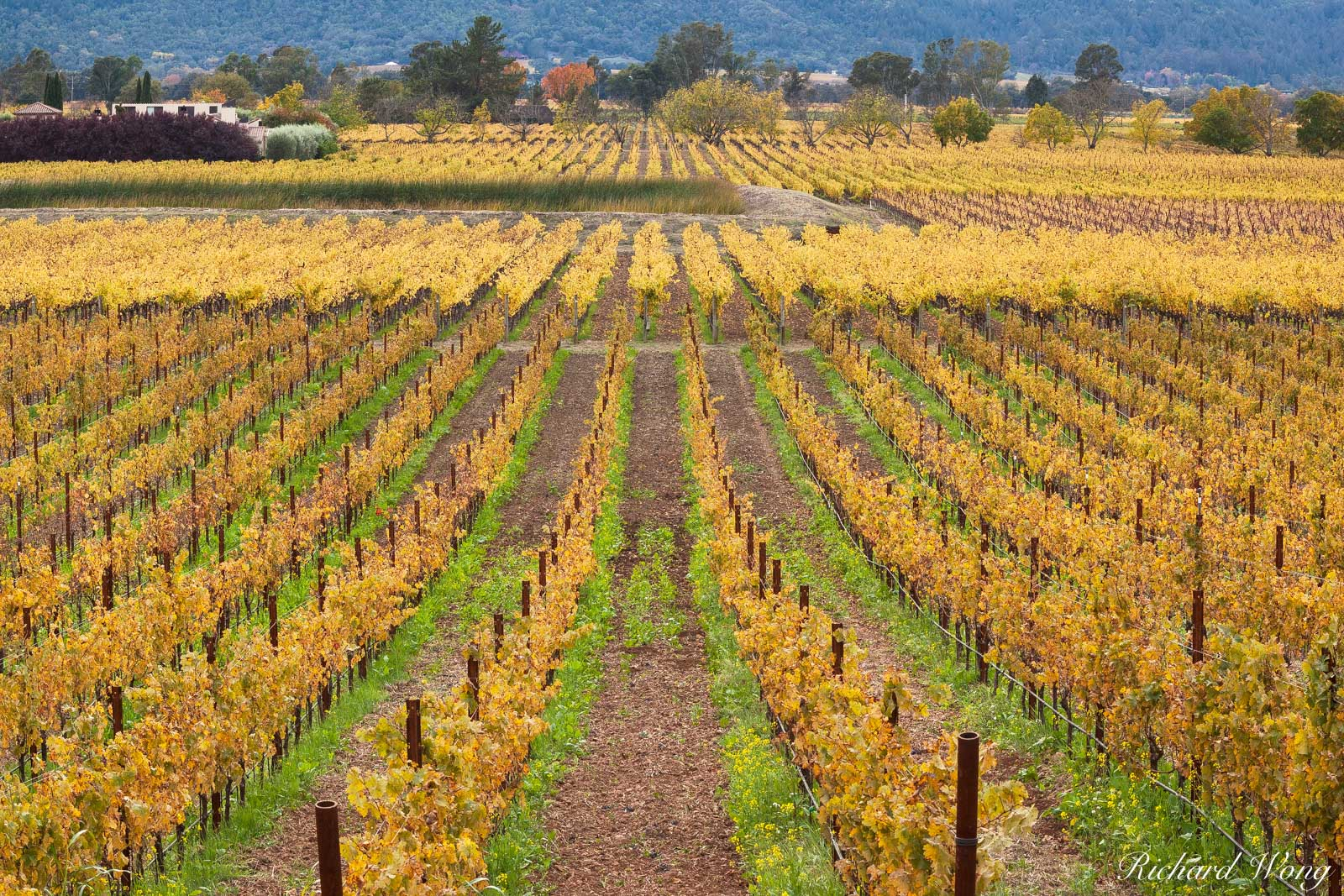 Silverado Trail Scenic Vineyard Landscape During Fall Season, Napa Valley, California, photo, photo