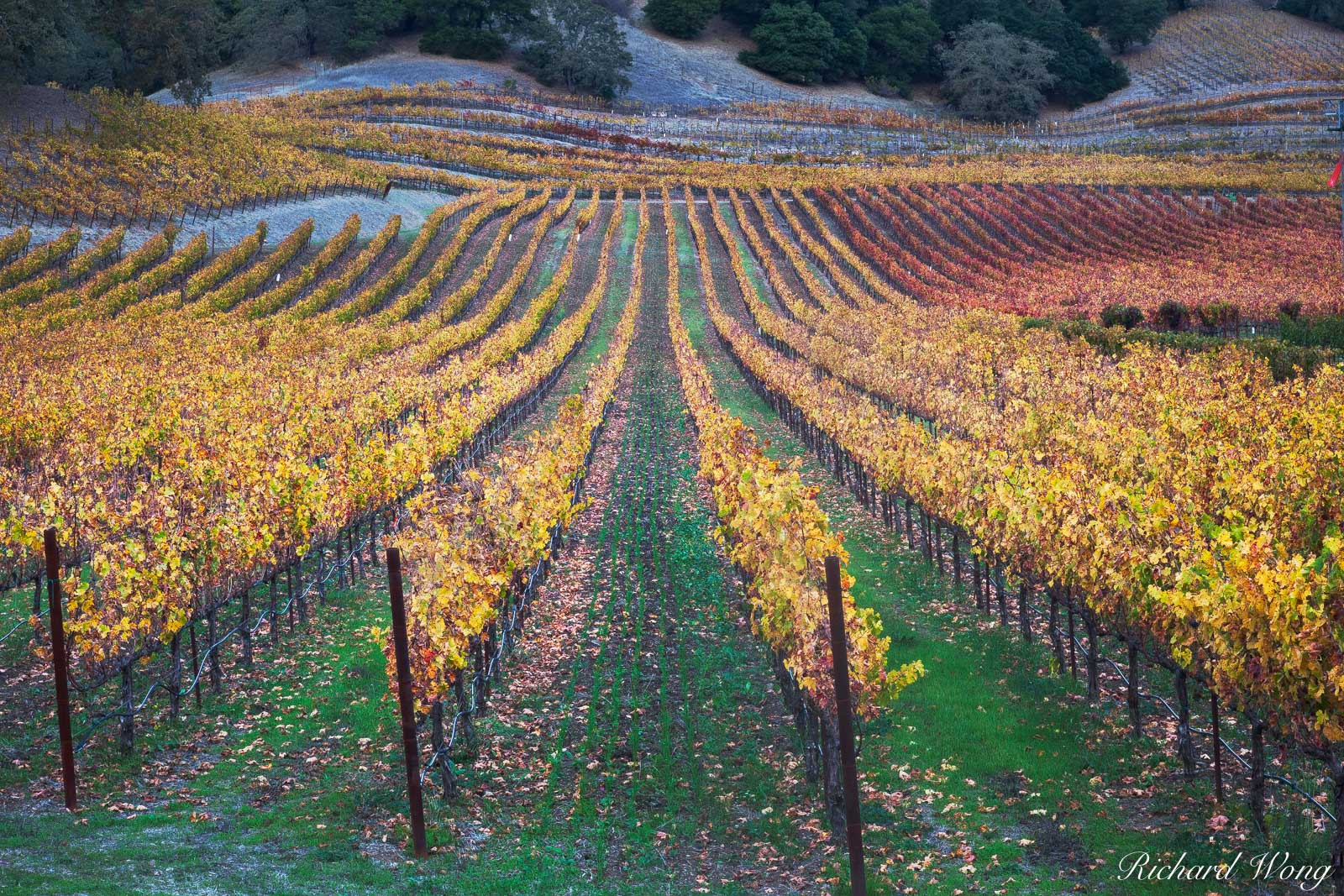 Vineyard Fall Colors Along the Silverado Trail in the Stag's Leap District, Napa Valley, California, photo, photo