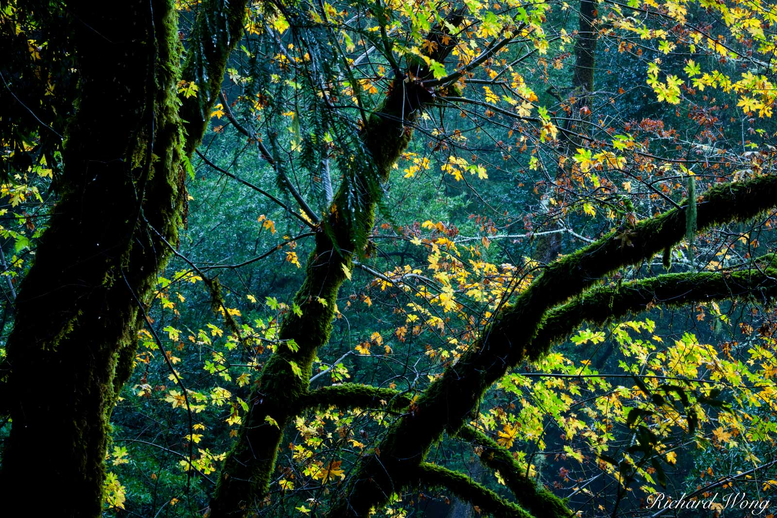 Fall Maples Leaves in Temperate Rainforest at Mount Tamalpais Watershed, Marin County, California, photo, photo