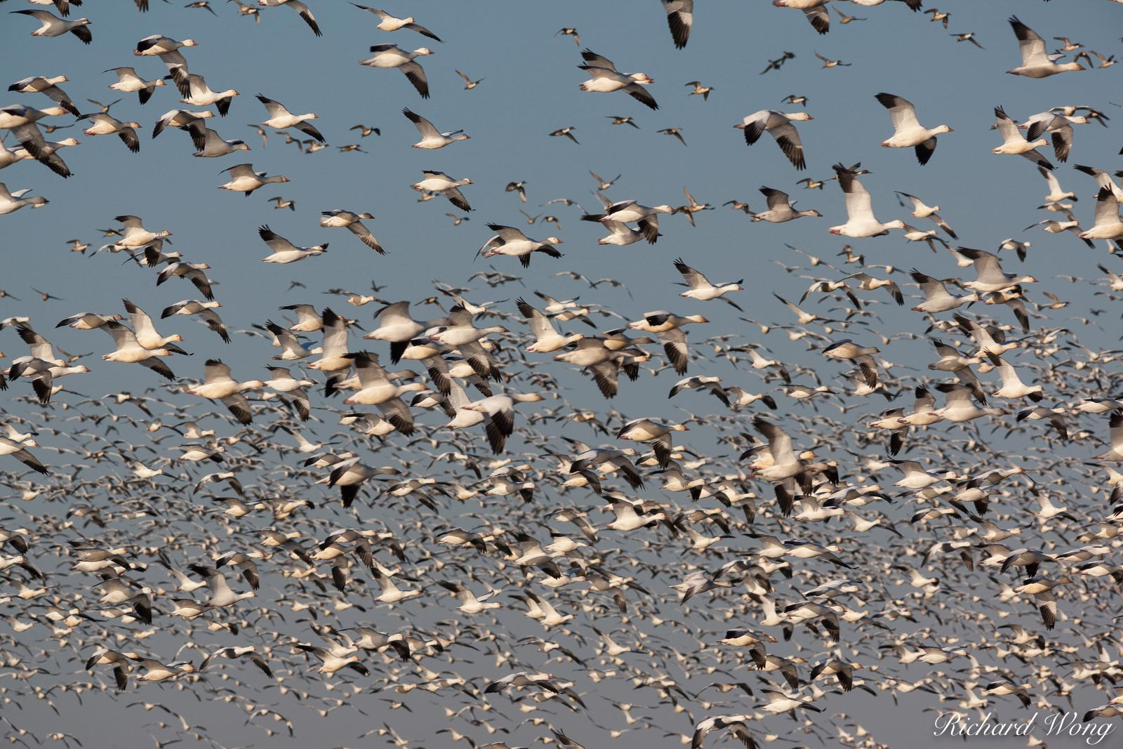 Birds in Flight, Merced National Wildlife Refuge, California, photo, photo