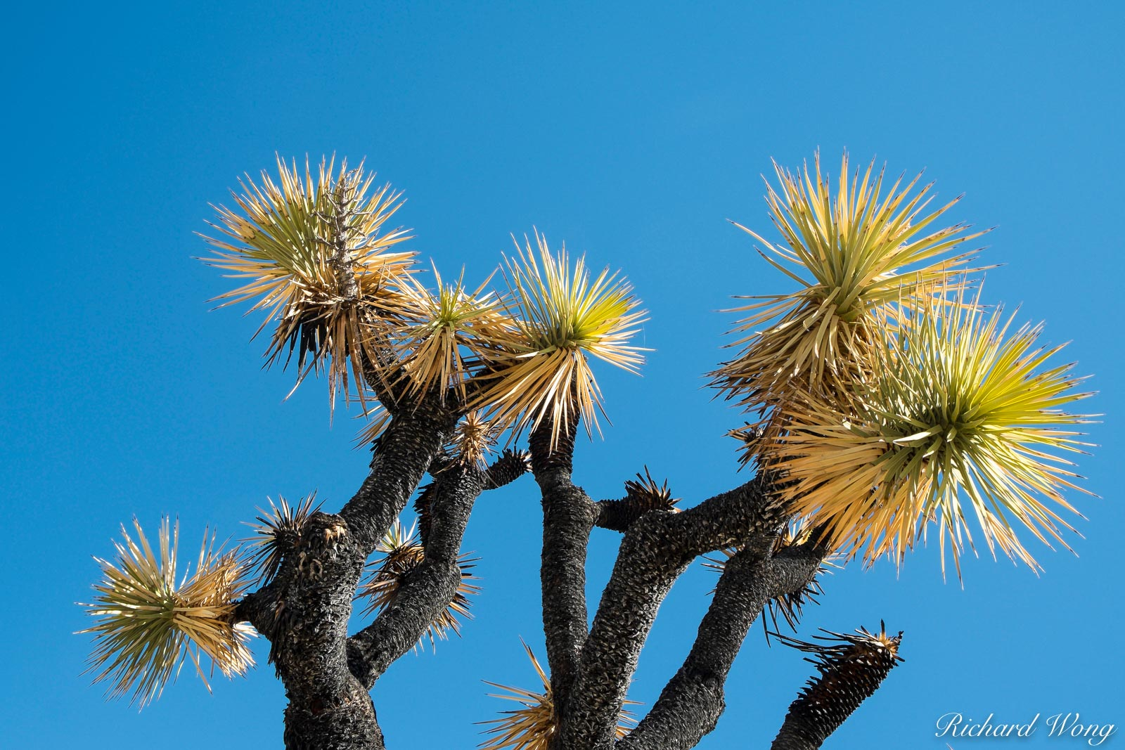 Joshua Trees and Blue Sky, Joshua Tree National Park, California, photo, photo
