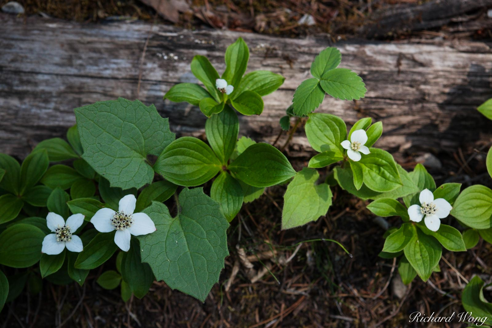 White Wildflowers, Kootenay National Park, British Columbia, Canada, photo, photo