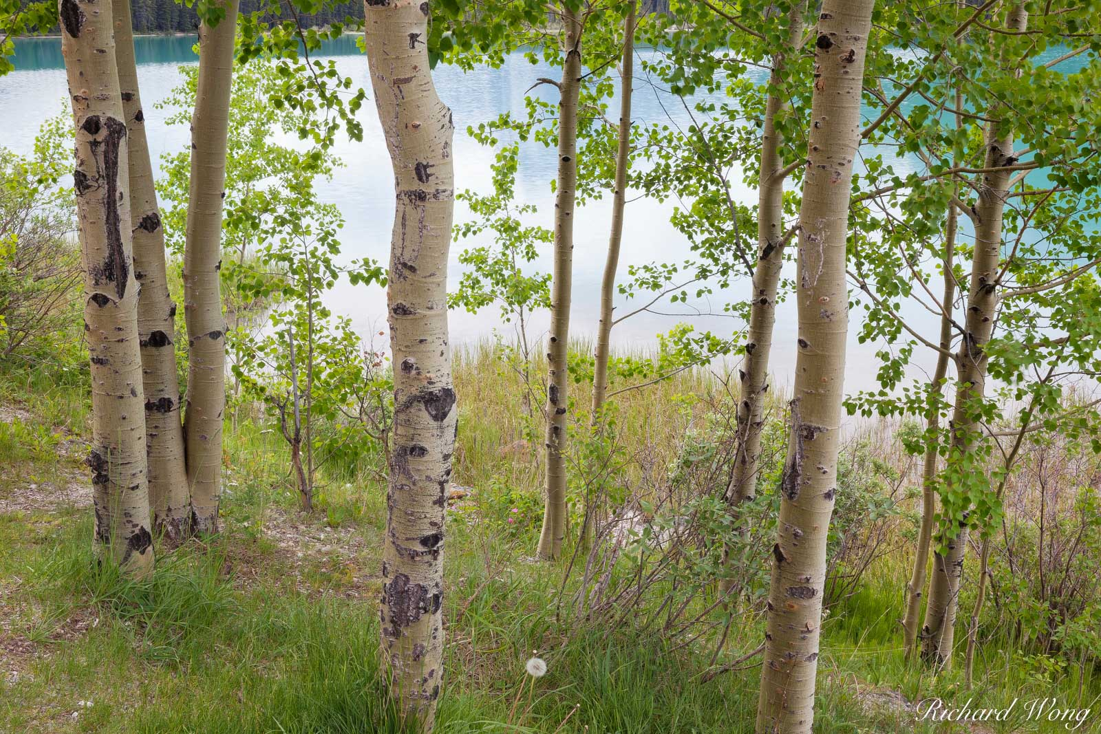 Aspen Trees, Lower Waterfowl Lake, Banff National Park, Alberta, Canada, photo, photo