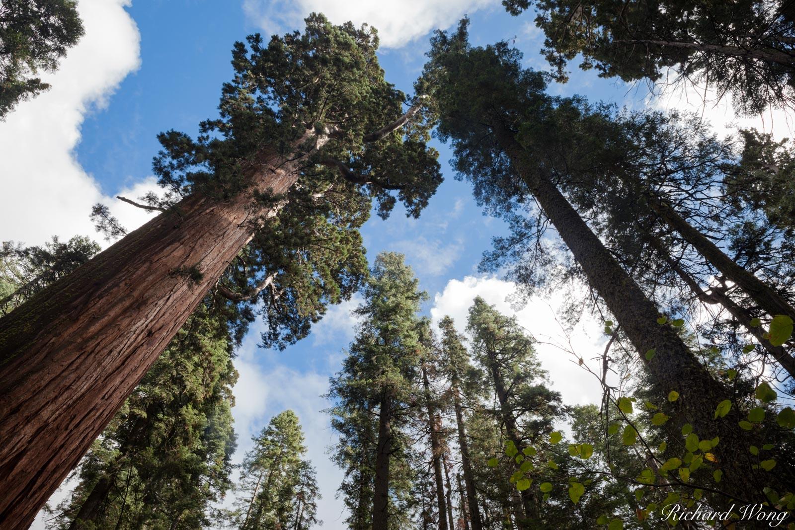 Giant Sequoia Trees, Calaveras Big Trees State Park, California, photo, photo