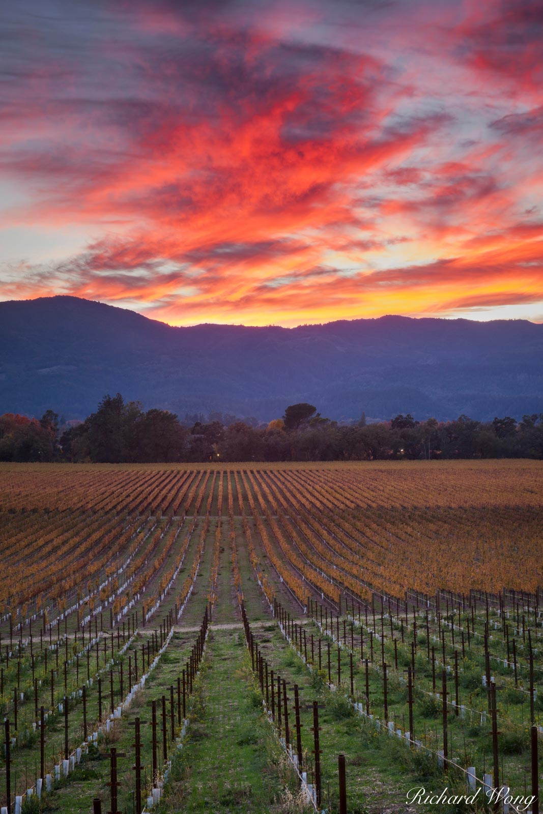 alpenglow, autumn leaves, colorful, fall colors, grapevines, green, landscape, mumm, napa, napa county, napa valley, north america, northern california, orange, outdoors, outside, red, rows, san franc, photo
