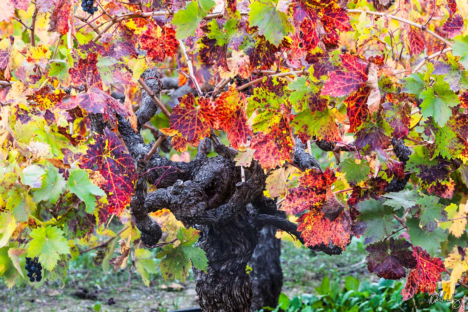Old Grapevine and Fall Foliage, Napa Valley, California, photo