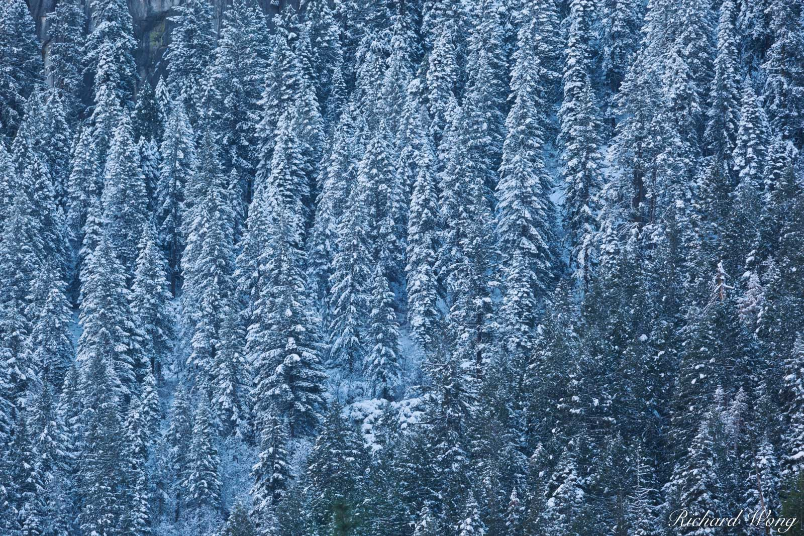 Snow-Covered Trees Above Yosemite Valley, Yosemite National Park, California, photo, photo