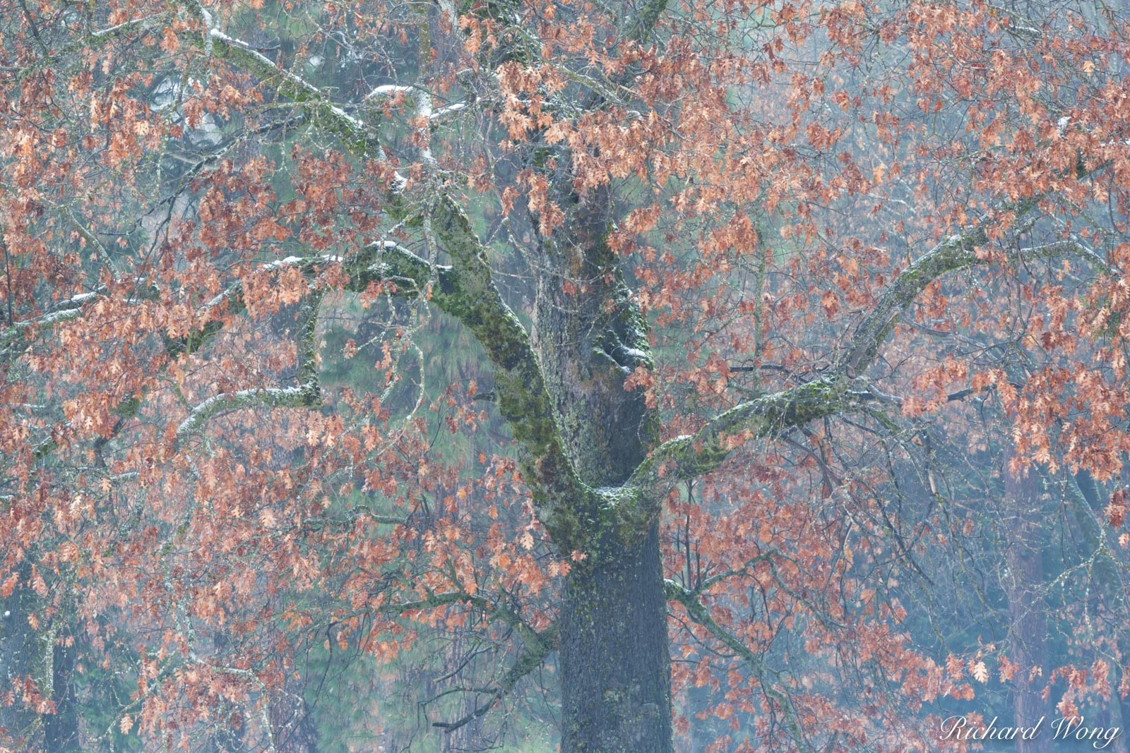 Black Oak in Late Fall Snowstorm, Yosemite National Park, California, photo, photo