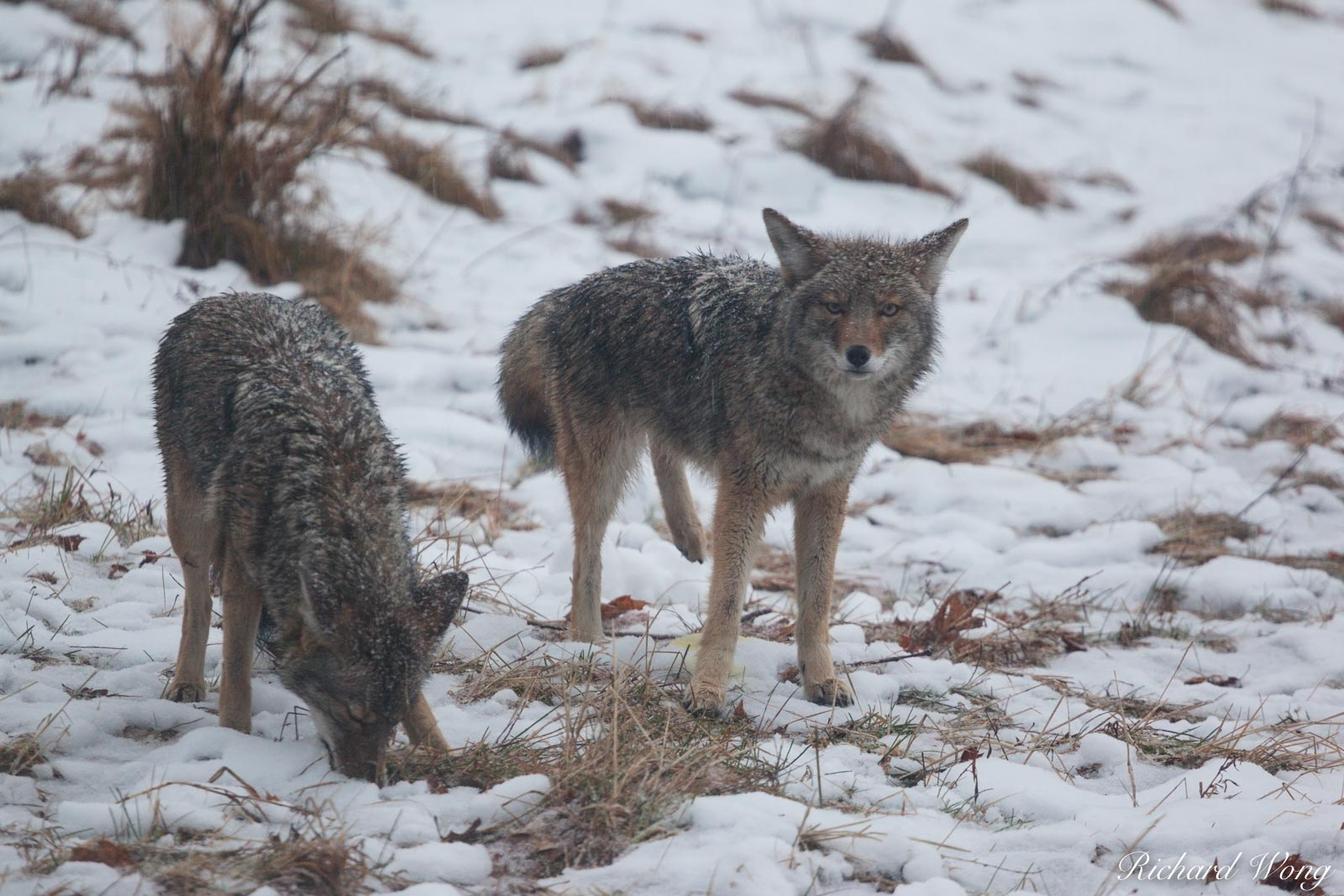 Two Coyotes in Snowstorm at Cooks Meadow, Yosemite National Park, California, photo, photo