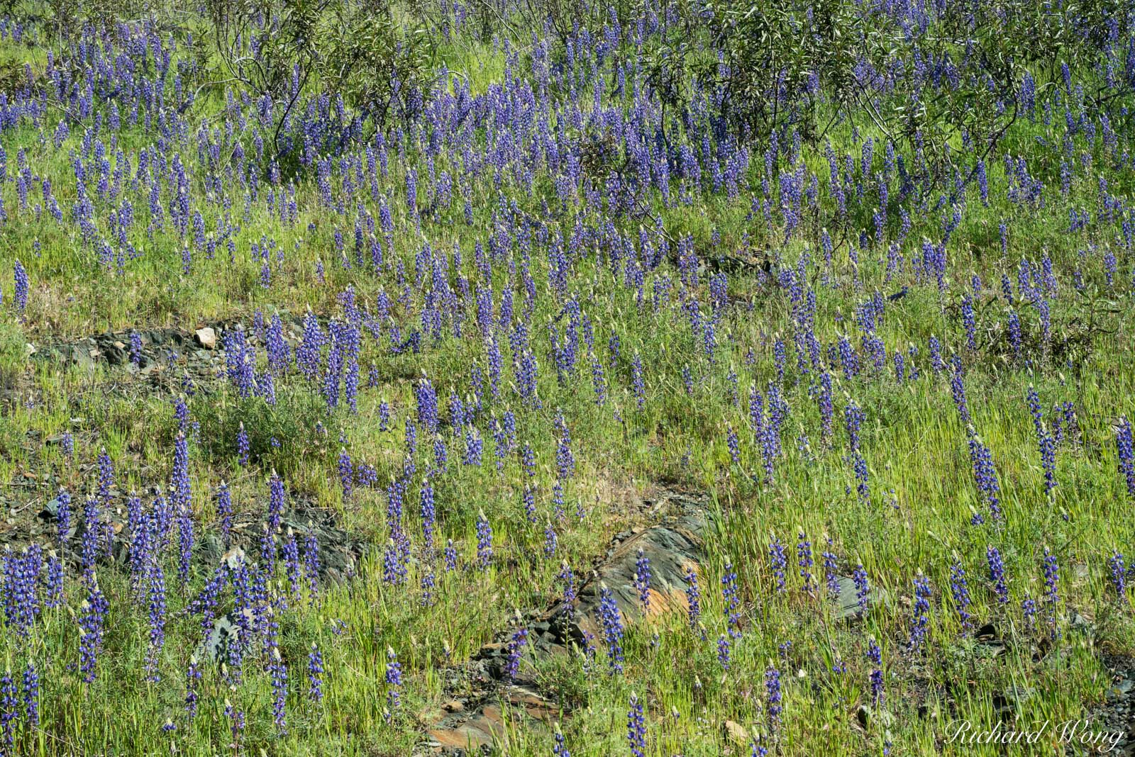 Lupine Spring Wildflowers, Tuolumne County, California, photo, photo