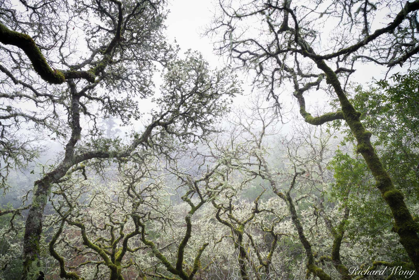 Twisted Tree Branches in Fog, Marin County, California, photo, photo