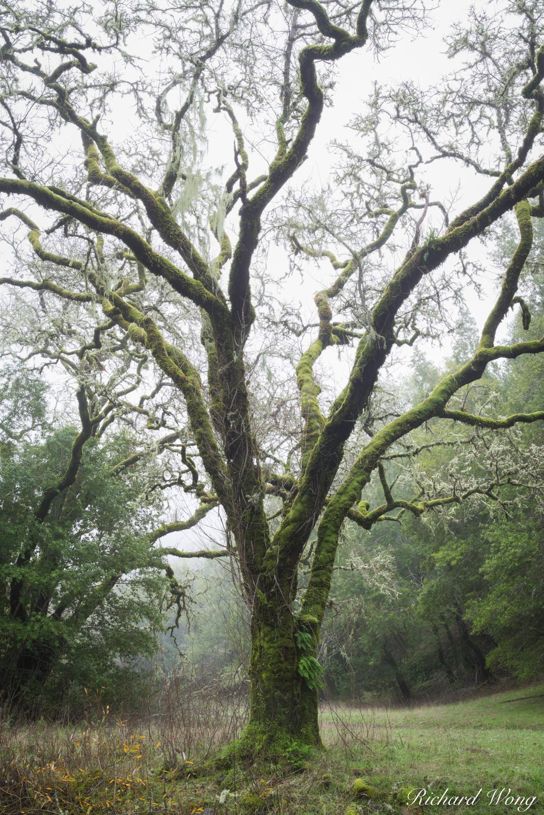 Moss-Covered Tree on Foggy Morning, Cascade Canyon Open Space Preserve, California, photo, photo