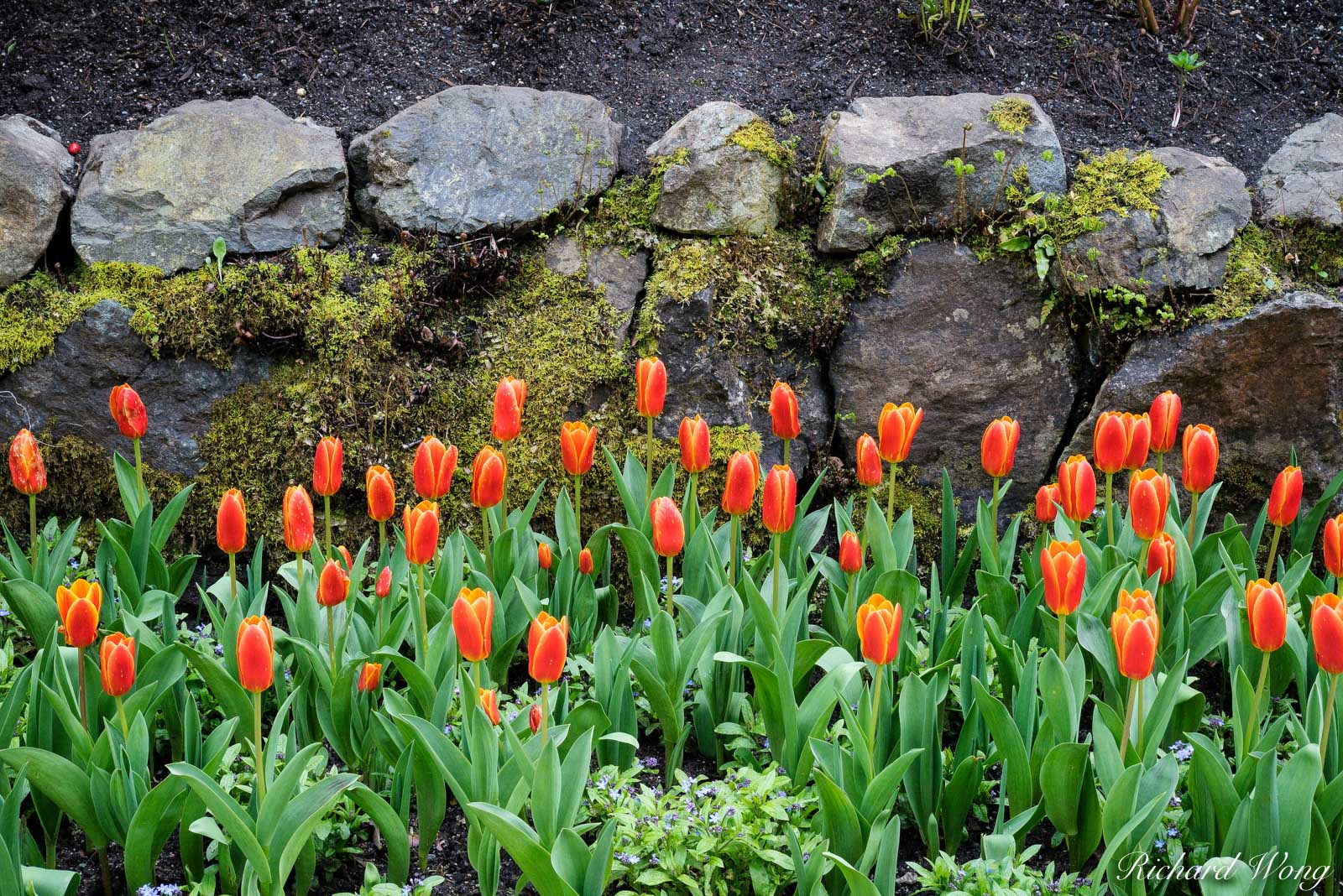 Tulips in Bloom, The Butchart Gardens, Vancouver Island, B.C, Canada, photo, photo
