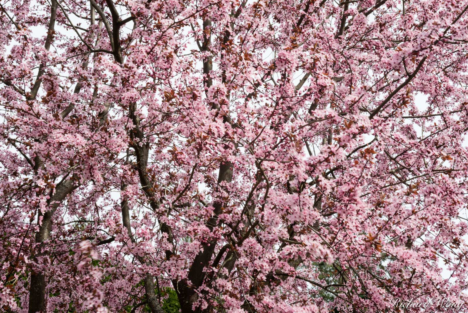 Cherry Blossoms at The Butchart Gardens, Vancouver Island, B.C., Canada, photo, photo
