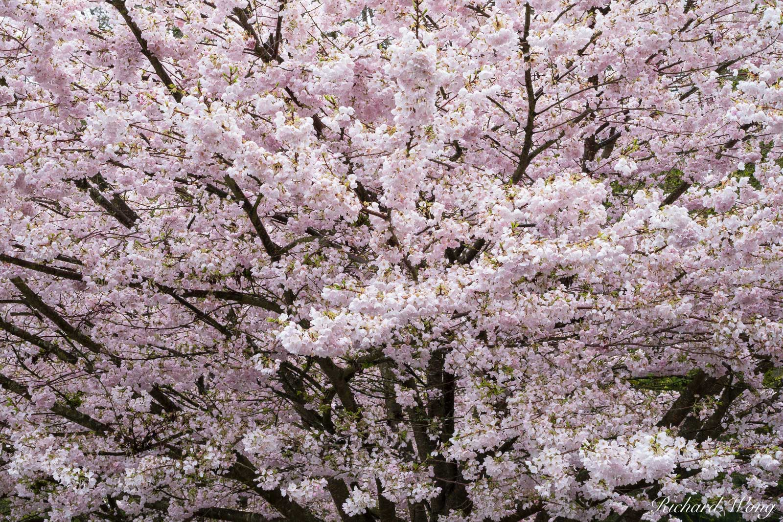 Stanley Park Cherry Tree Blossoms, Vancouver, B.C., Canada, photo, photo