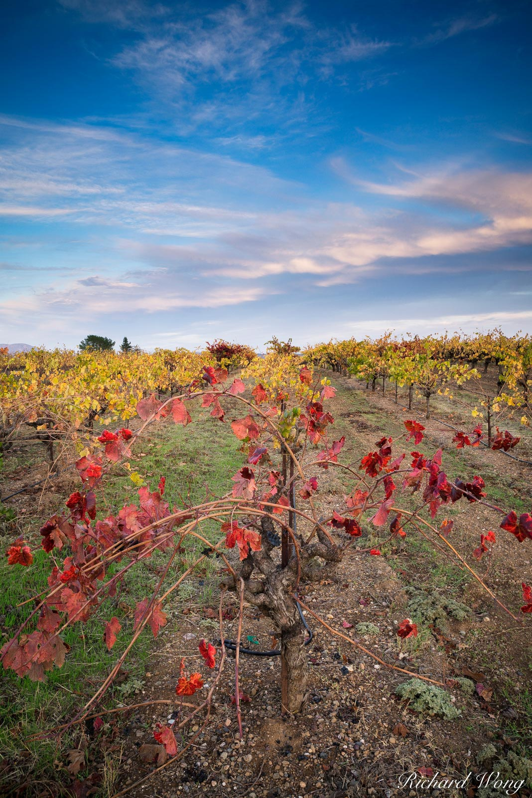 Peak Fall Colors in Sonoma County Vineyard, Russian River AVA, California, photo, photo