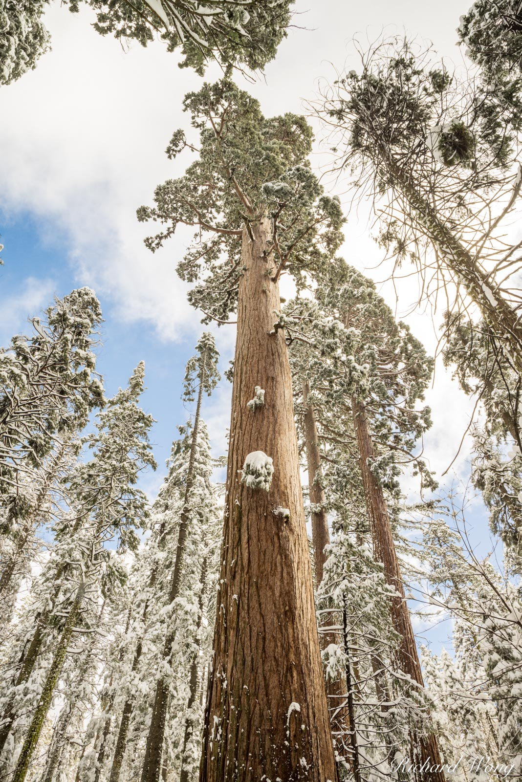 Giant Sequoia Trees After Winter Snowstorm, Calaveras Big Trees State Park, California, photo, photo