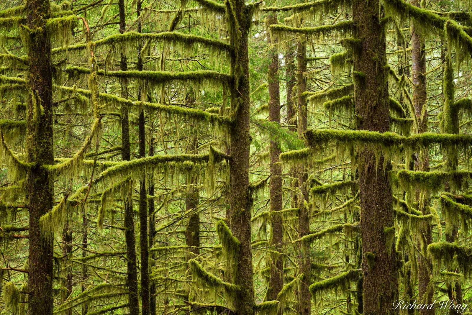 Temperate Rainforest / Sol Duc Valley, Olympic National Park, Washington, photo, photo