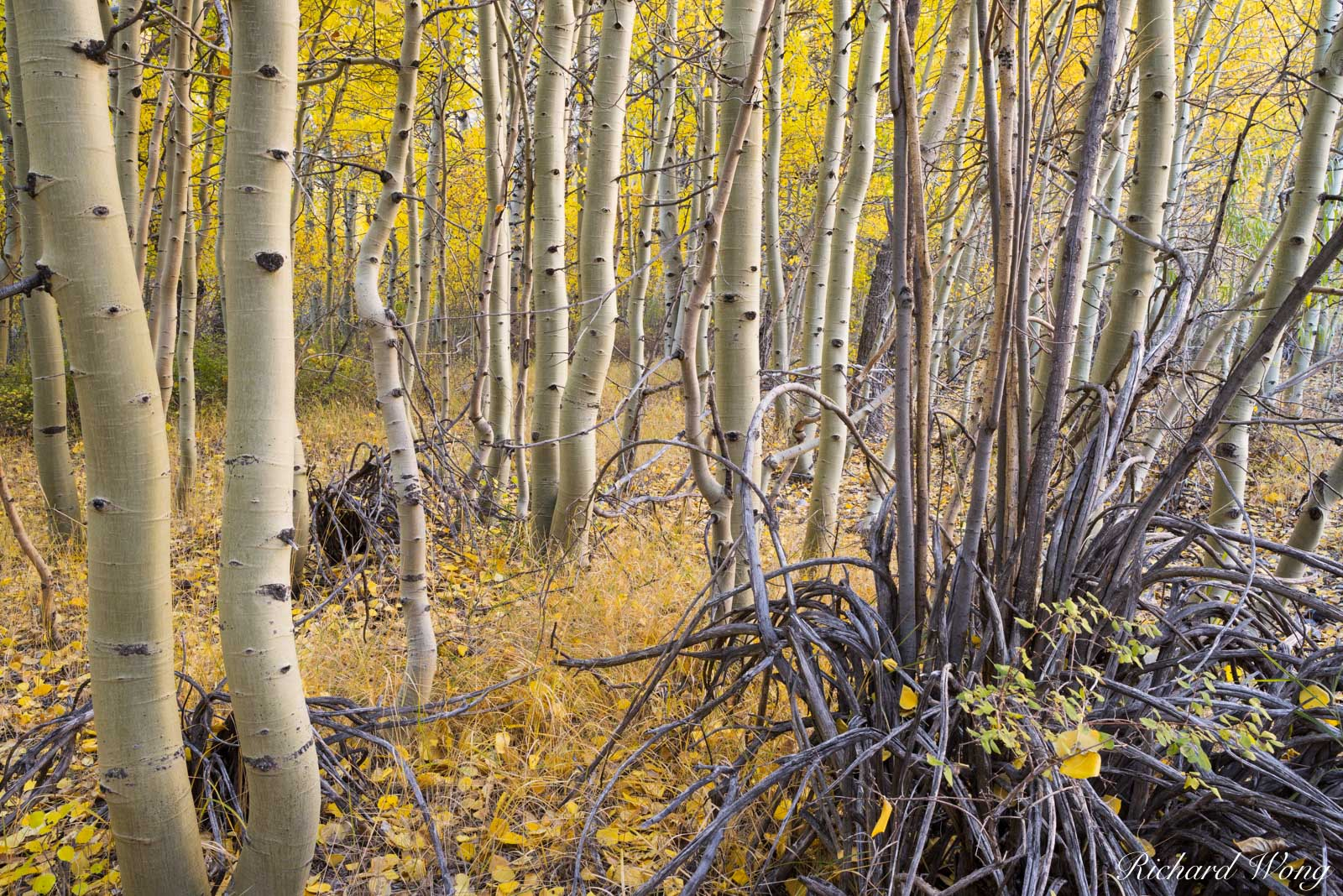 Aspen Trees in Fall Near Convict Lake, Inyo National Forest, California, photo, photo