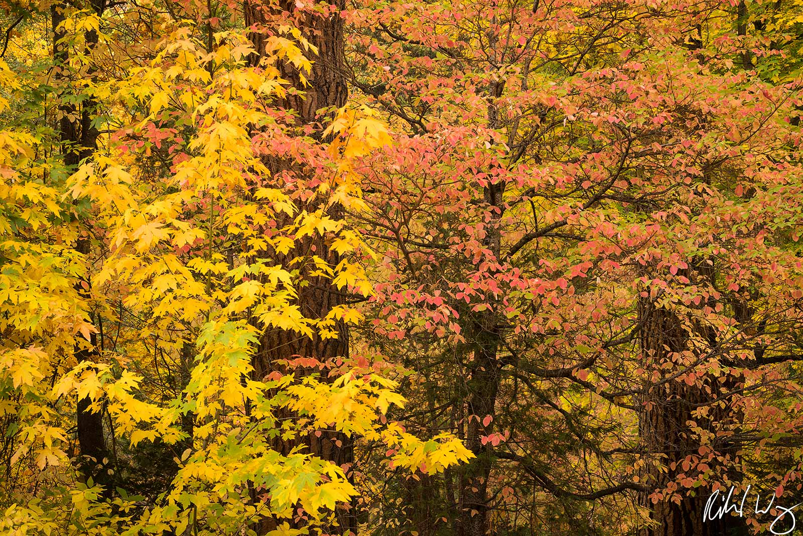 fall dogwood, maple leaves, yosemite national park, california, photo, photo