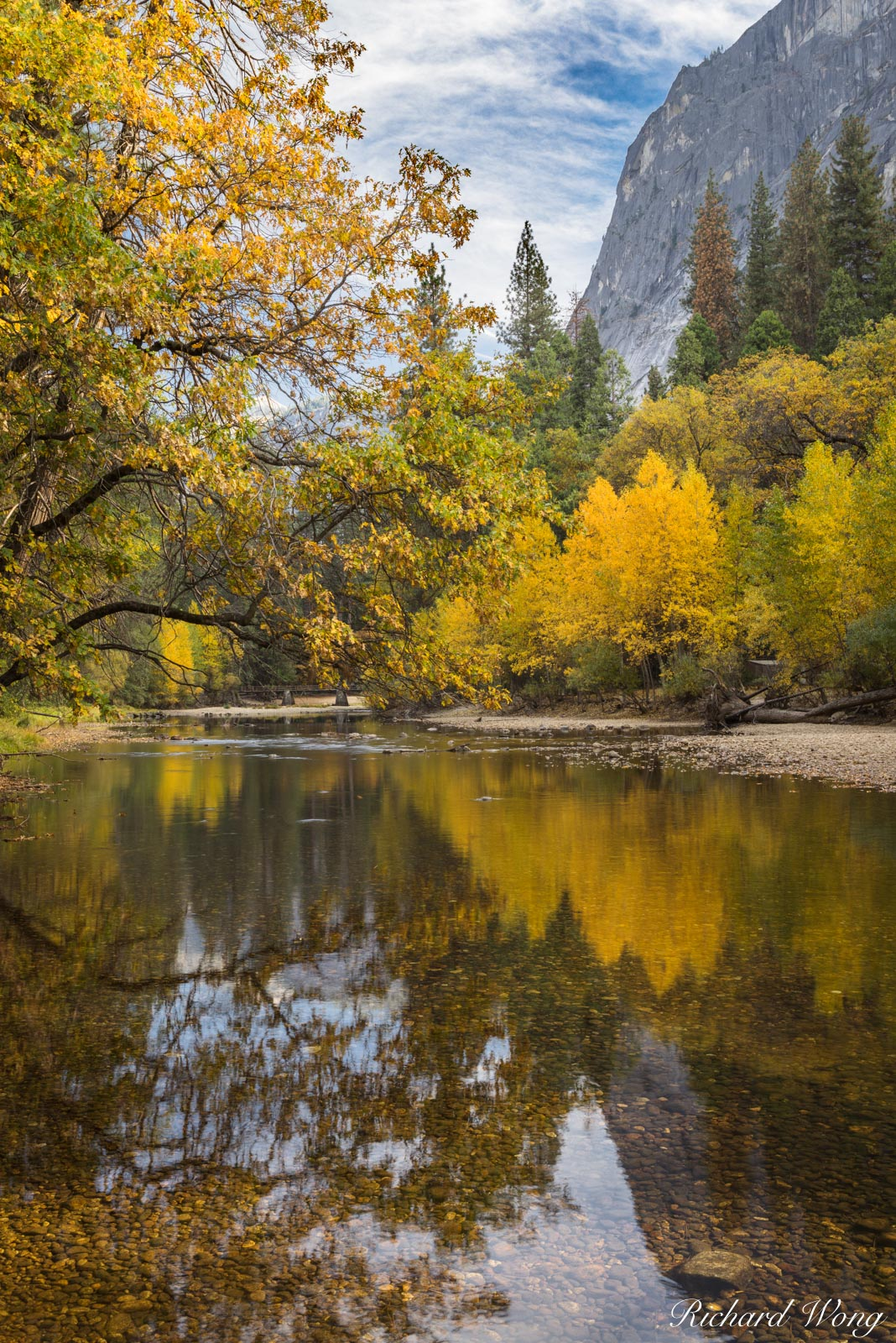 Big Leaf Maple Fall Colors Along Merced River, Yosemite National Park, California, photo, photo