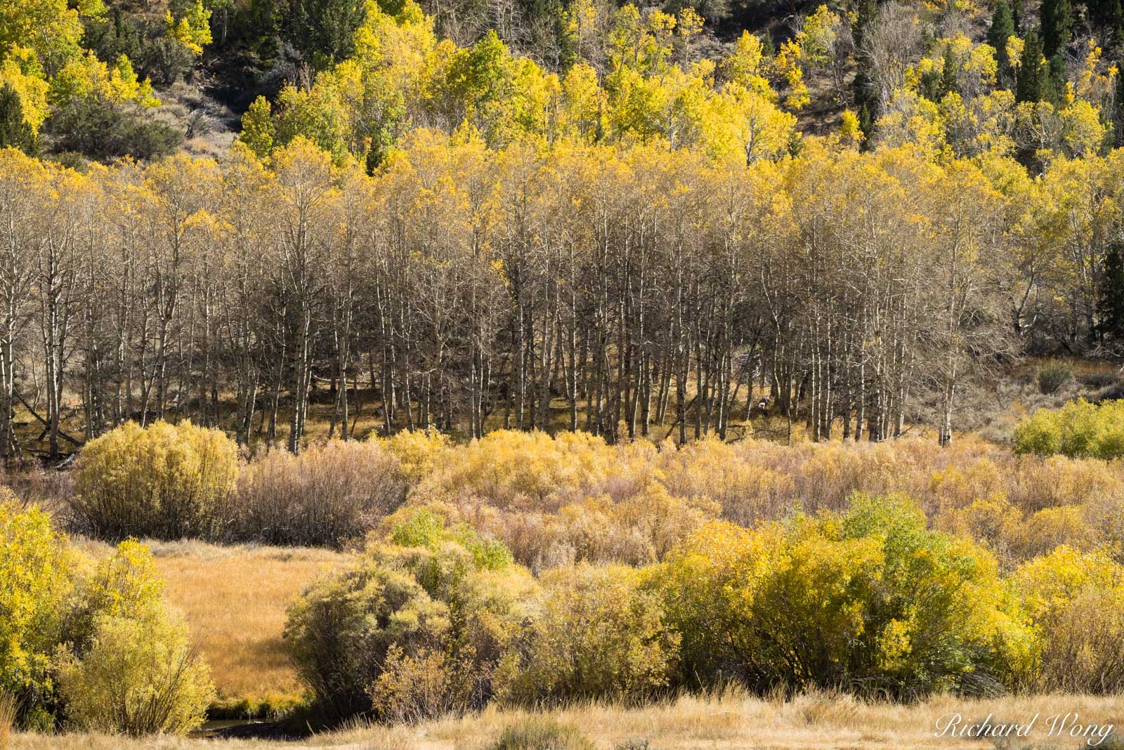 A Grove of Aspen Trees in Fall Along June Lakes Loop, Eastern Sierra, California, photo, photo