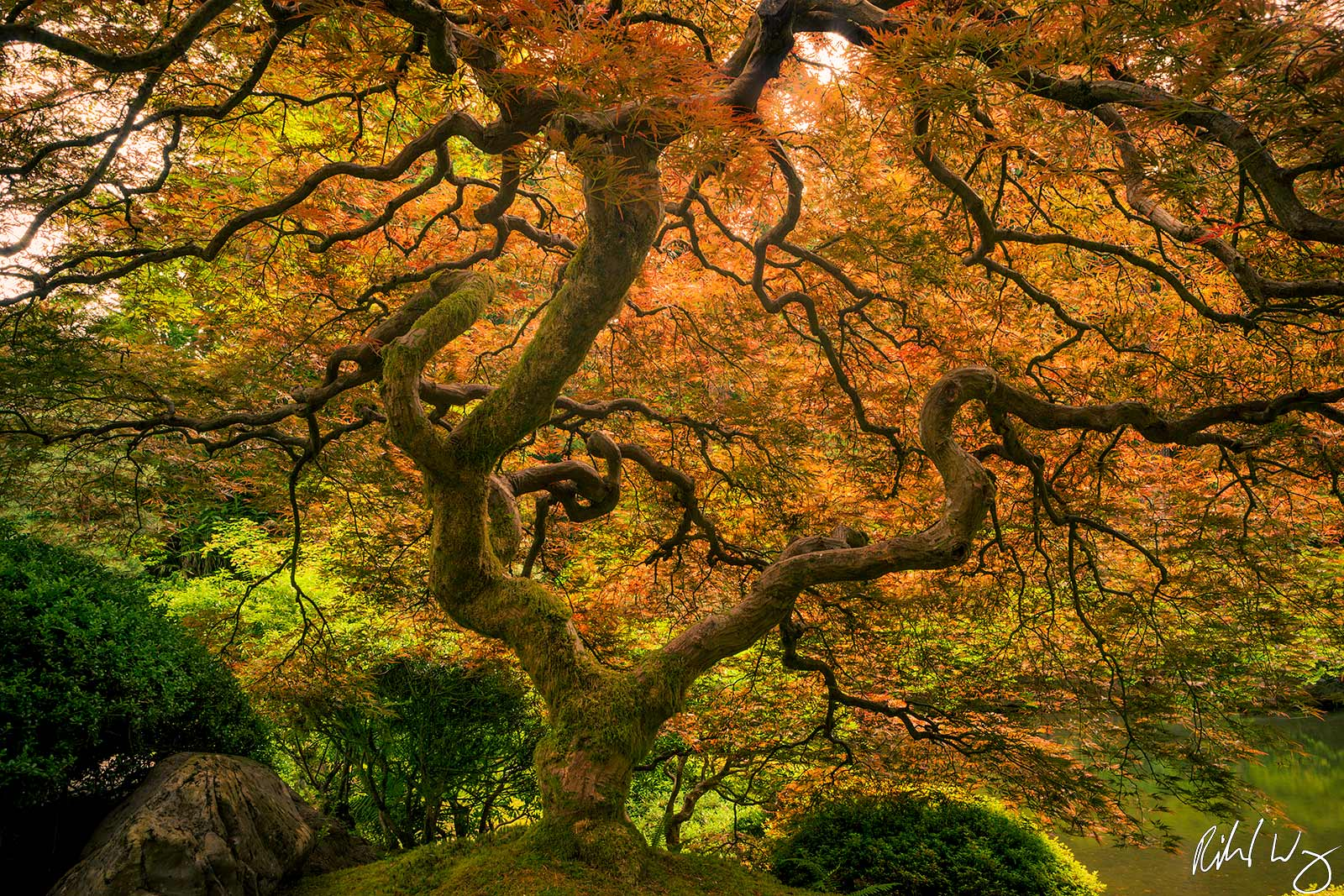 peter lik tree of life style photo, portland japanese garden maple tree, photo