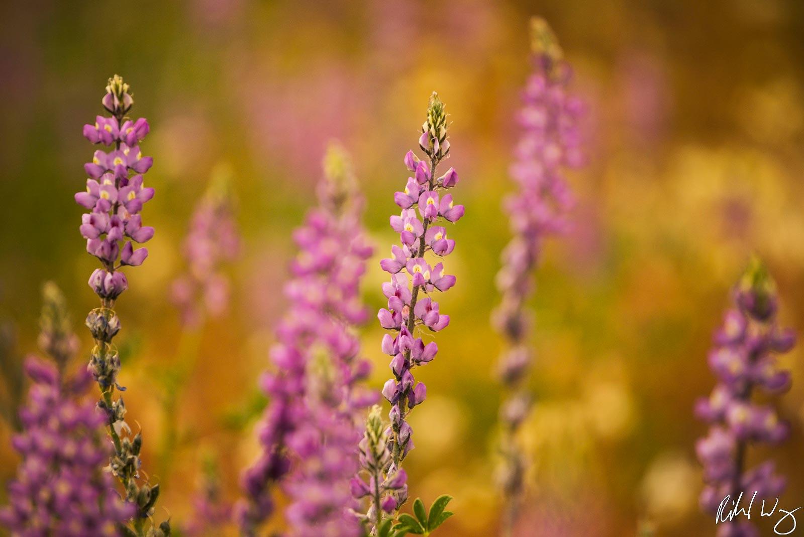 Lupine Bloom, Joshua Tree National Park, California