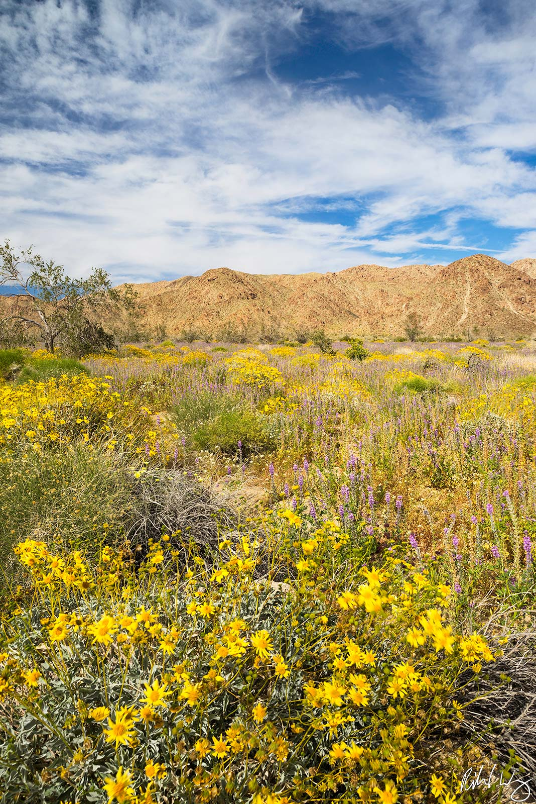 Desert Brittlebush, Joshua Tree National Park, California, Photo, photo