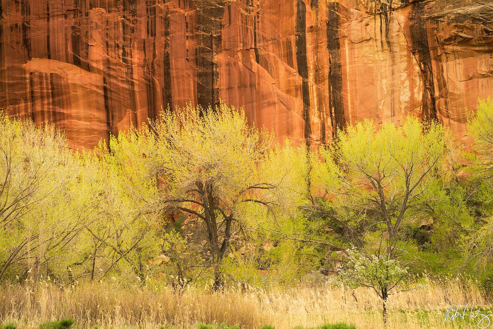 Cottonwood Trees & Sandstone, Capitol Reef National Park, Utah Photo, photo