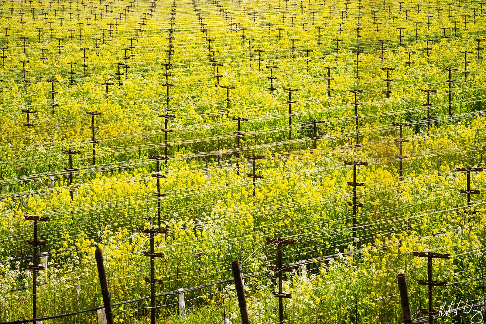 Winter Vineyard Mustard Bloom / Silverado Trail, Napa Valley, California, Photo, photo