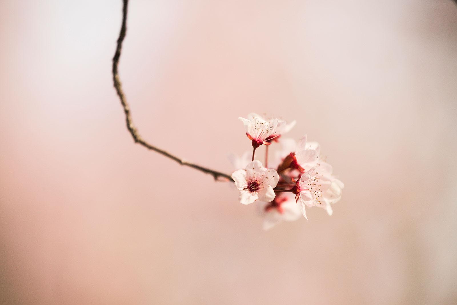 Cherry Blossom, Calistoga, California, Photo, photo