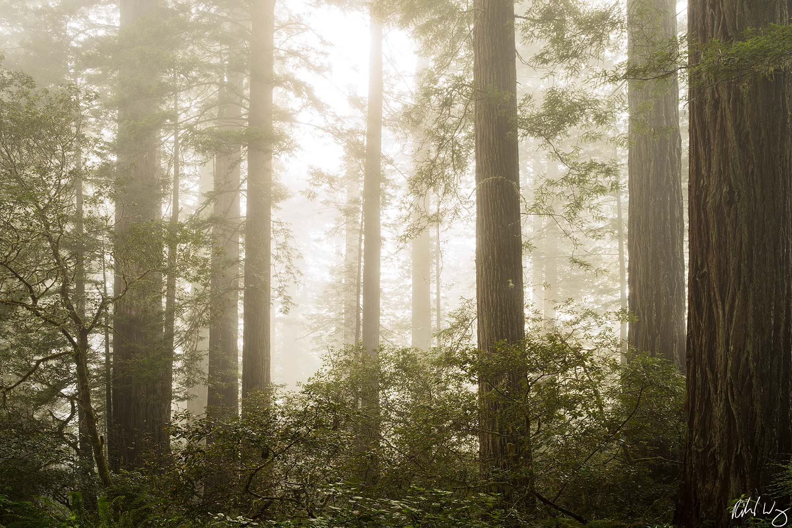 Lady Bird Johnson Grove Redwoods in Fog, Redwood National Park, California, Photo, photo
