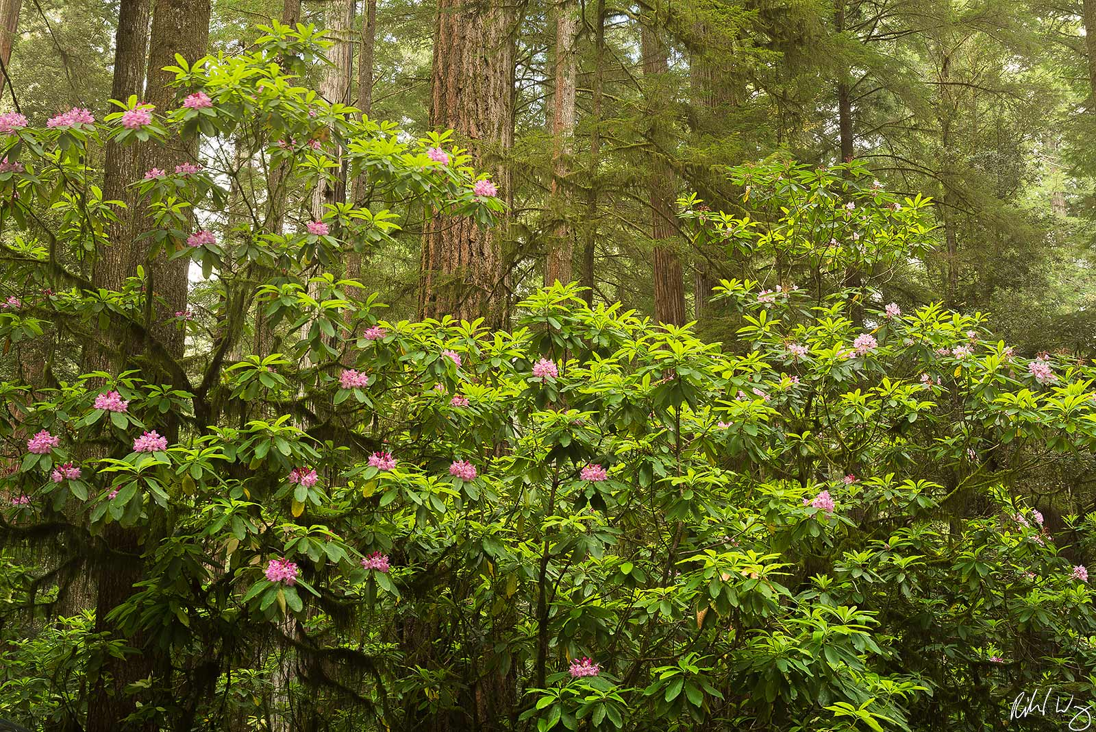 Rhododendon Bloom at Stout Grove, Jedediah Smith Redwoods State Park, California, Photo, photo