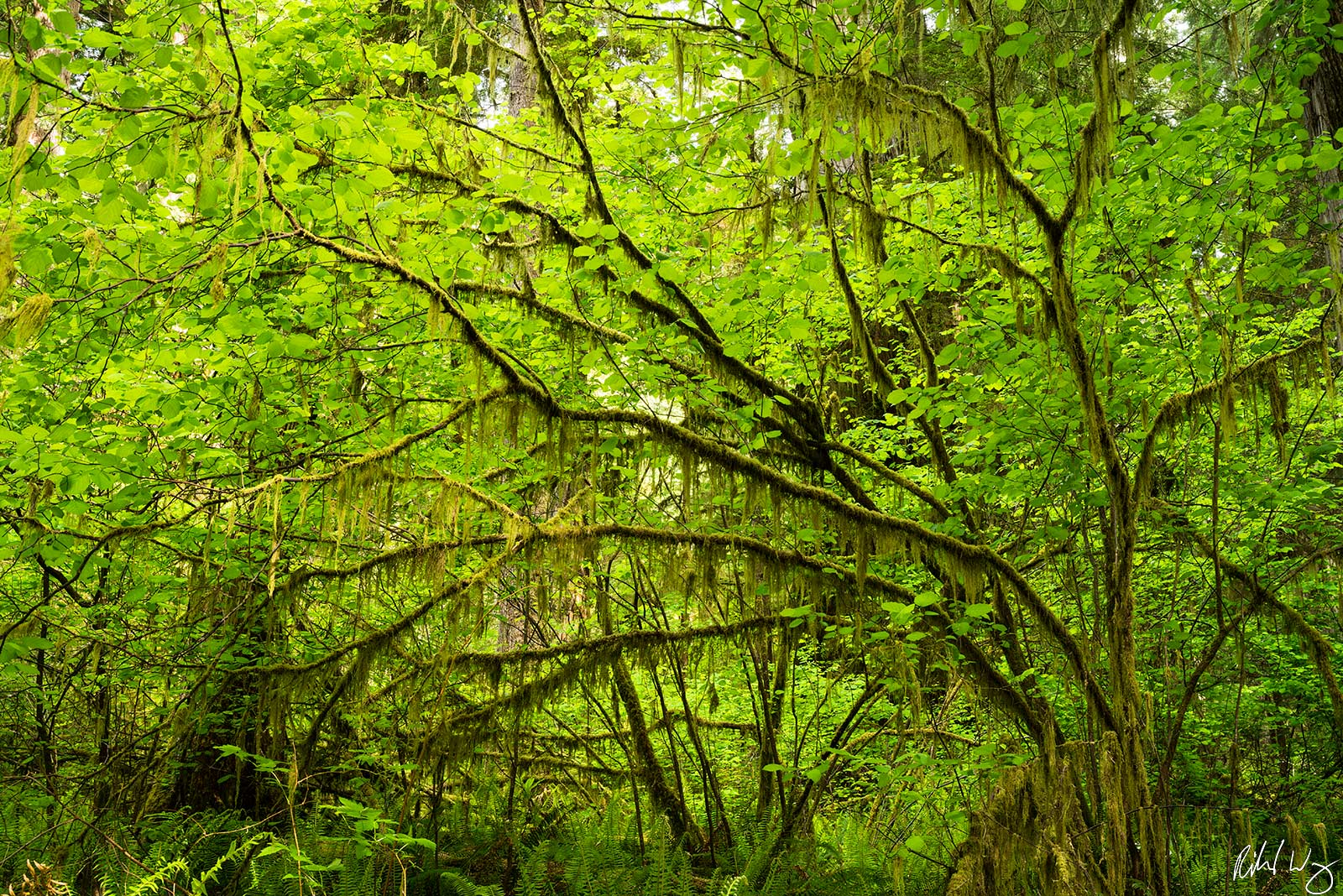 Simpson-Reed Old-Growth Forest, Jedediah Smith Redwoods State Park, California, Photo