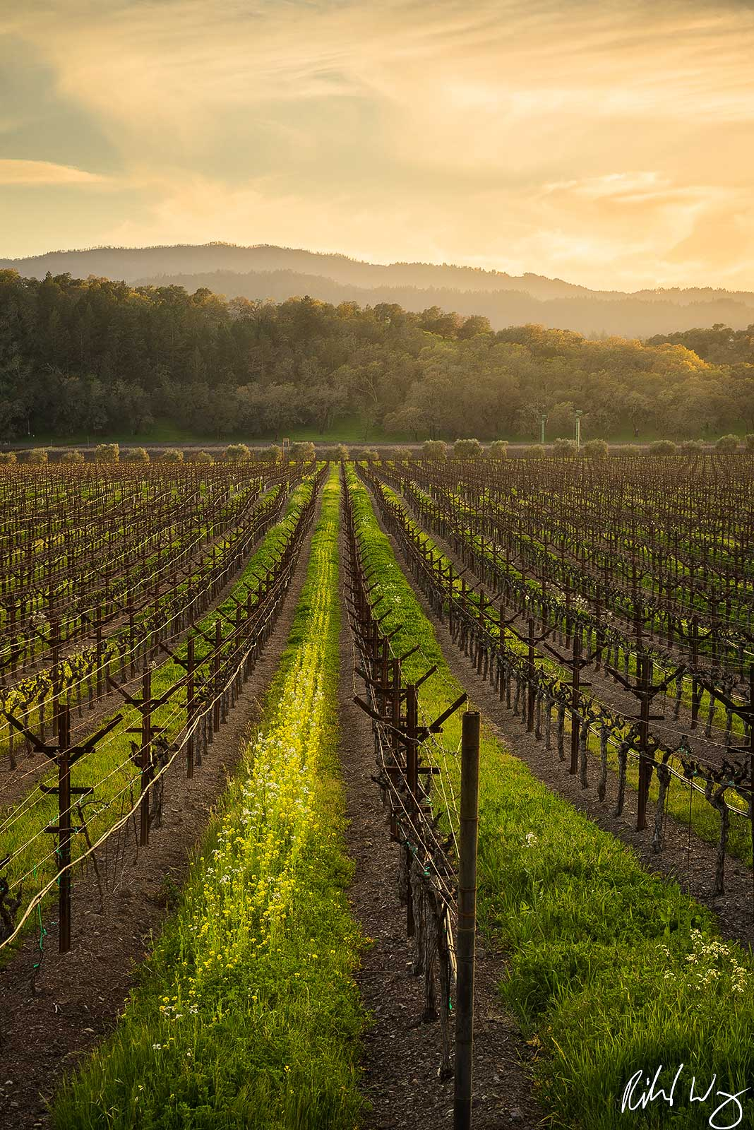 Yountville Vineyard Sunset, Napa Valley, California, Photo, photo