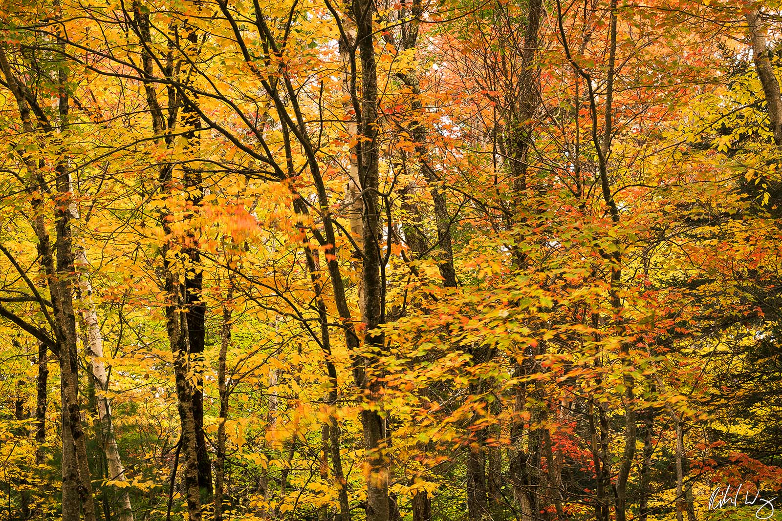 Forest Fall Foliage Along Kancagamus Highway, White Mountain National Forest, New Hampshire, Photo, photo