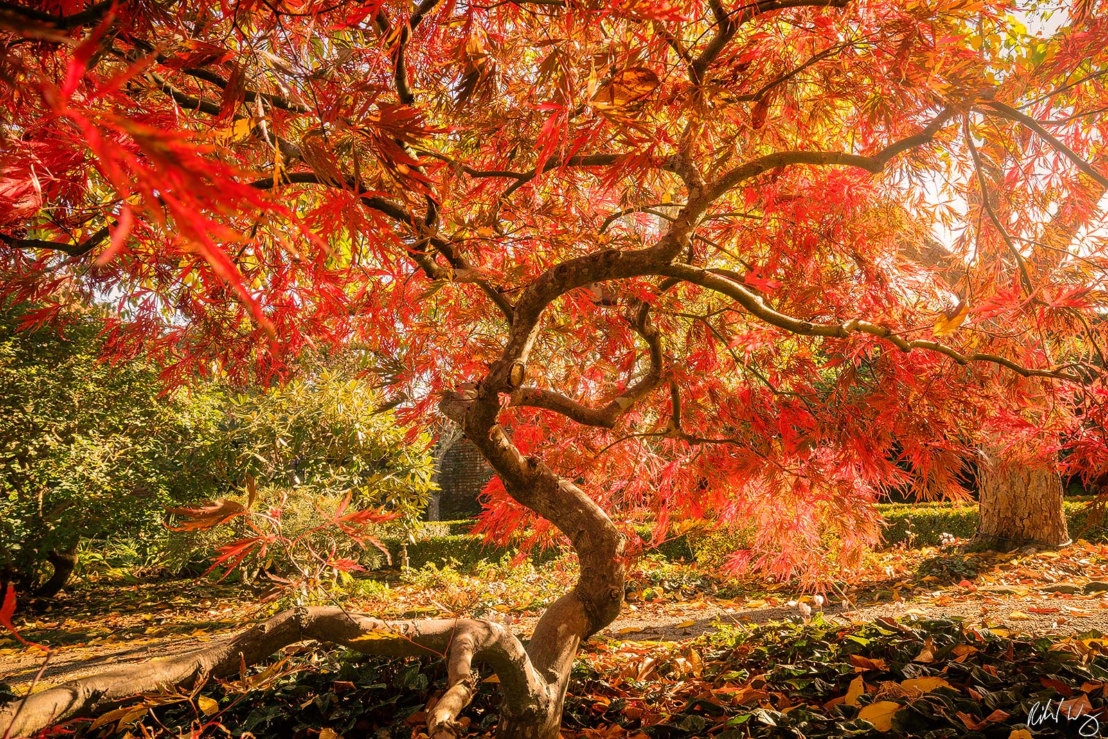 Lace Leaf Japanese Maple Tree at Filoli Garden, Woodside, California A mythical greek creature, a phoenix is an ancient bird...