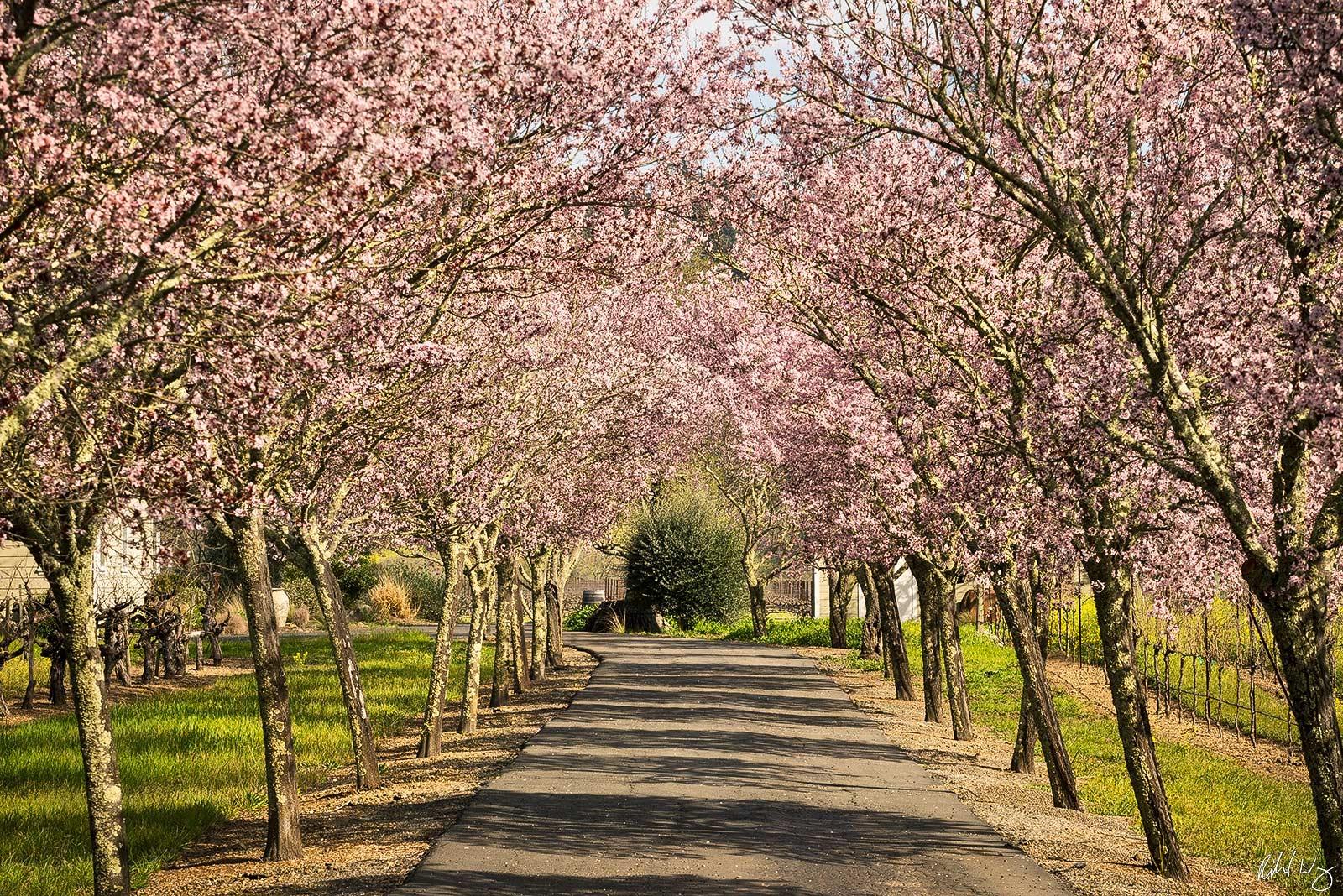 Cherry Tree Blossoms in Driveway, Calistoga, California, Photo, photo