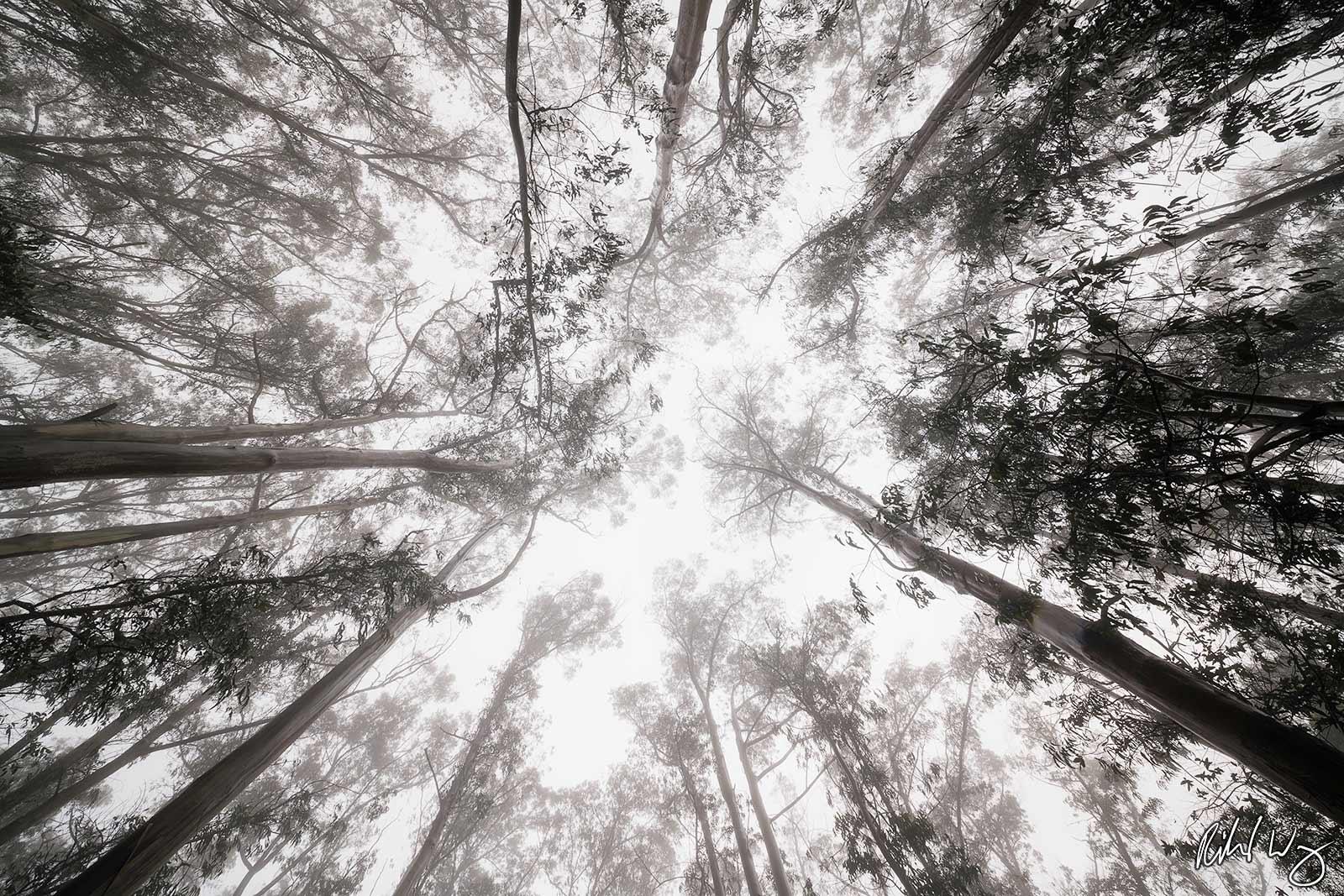 Foggy Eucalyptus Forest Tree Canopy, San Francisco, California As I walked through this quiet forest raining with fog precipitation...