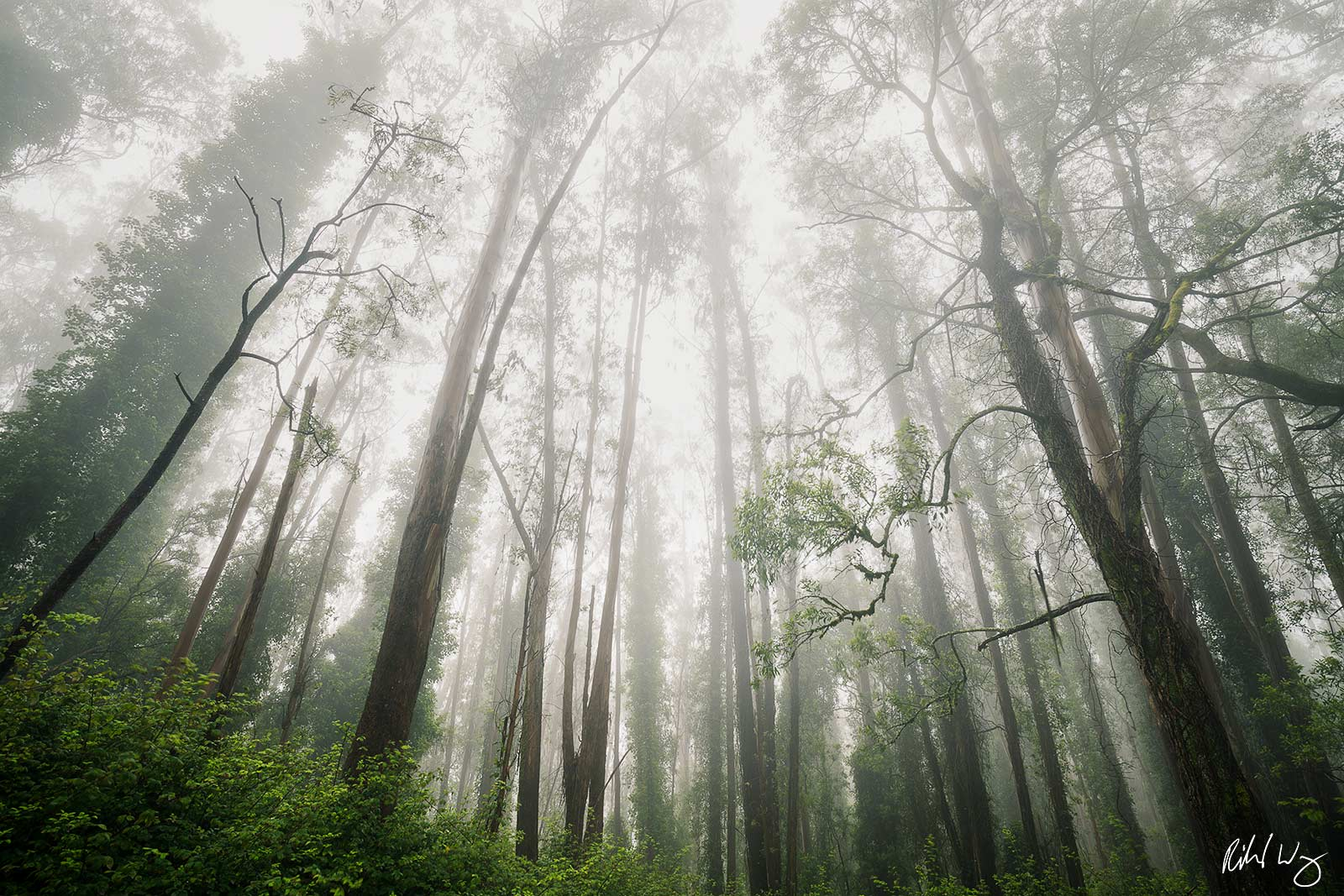 Foggy Eucalyptus Forest, San Francisco, California This eucalyptus forest was planted by former mayor, Adoph Sutro (1830-1898...