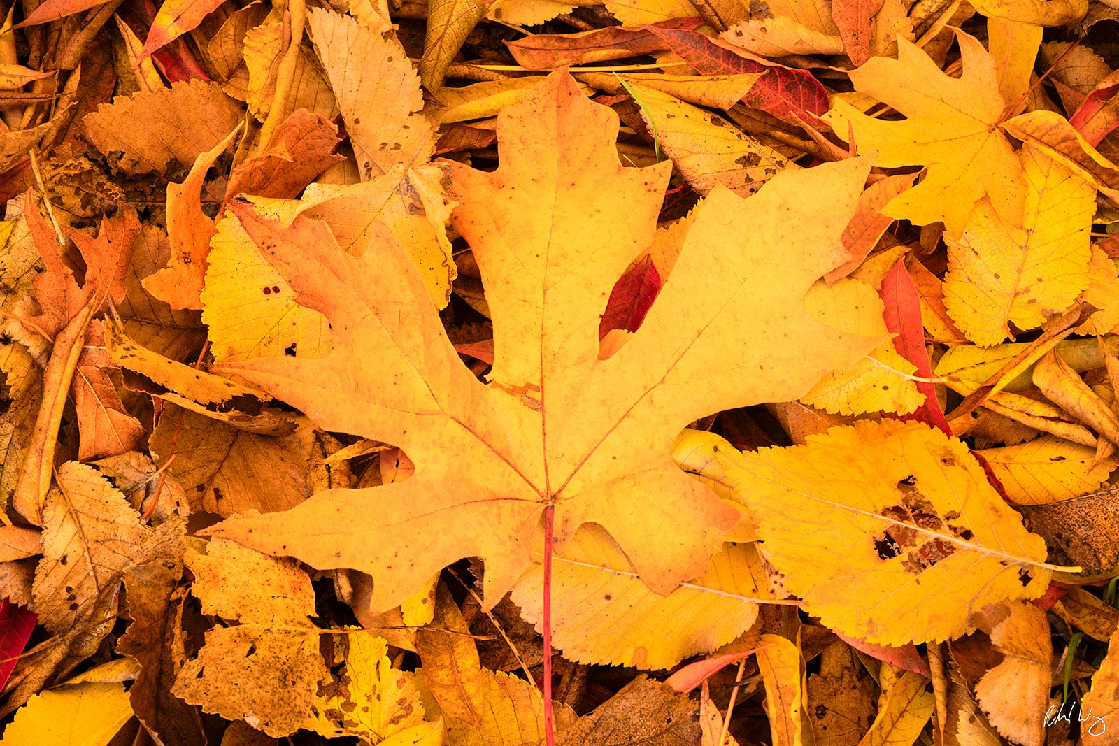 Autumn Leaves on the Ground, Redwood Regional Park, California, photo, photo